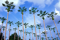 A grove of papaya trees on the Kona side of the Big Island of Hawaii
