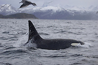 Killer whale Orcinus orca Adult male, Tysfjord, arctic Norway