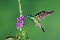Green Violet-ear, Colibri thalassinus, male in flight feeding on Porterweed(Stachytarpheta), Central Valley, Costa Rica, Central America