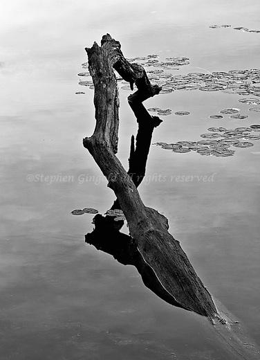 Fallen Branch in Harvard Pond
