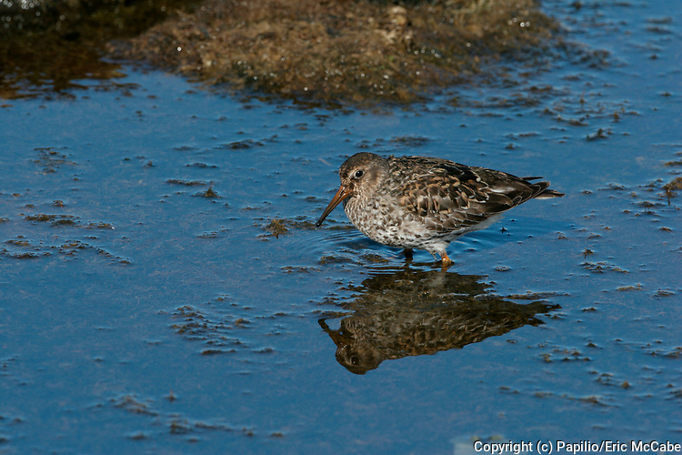 Purple Sandpiper feeding, Calidris maritima, Ny Alesund, Spitzbergen, reflection, water. 22/06/2005.