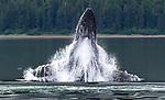 USA, Alaska, Glacier Bay National Park, humpback whale (Megaptera novaeangliae)