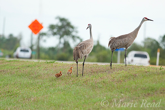 Sandhill Cranes (Grus canadensis) (Florida race), pair with two small chicks about to cross busy highway, Kissimmee, Florida, USA