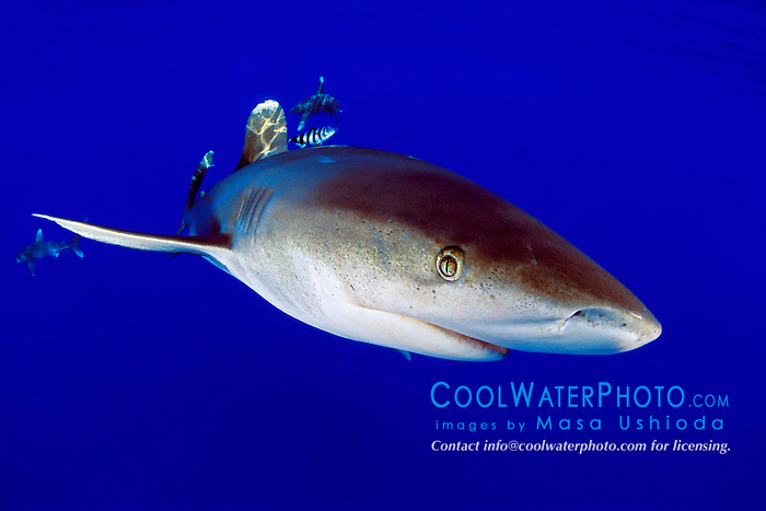 oceanic whitetip shark, Carcharhinus longimanus, with pilot fish, Naucrates ductor, Big Island, Hawaii, Pacific Ocean