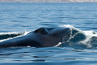 Fin whale (balaenoptera physalus) Gulf of California.The head and mouth of a fin whale., Baja California, Mexico, Pacific Ocean