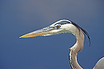 An up close head shot of a Great Blue Heron