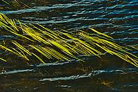 Aquatic vegetation on Isabel Lake  (Sparganium)<br />