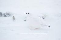 00839-00509 Willow Ptarmigan (Lagopus lagopus) on tundra, Churchill Wildlife Management Area, Churchill, MB