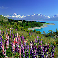New Zealand, South Island, Lake Pukaki: Lake and Mount Cook View with Lupins | Neuseeland, Suedinsel, Lake Pukaki: bluehende Lupinen am See vorm Mount Cook