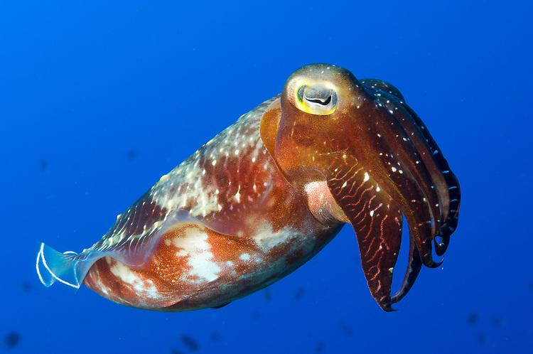 A Broadclub cuttlefish (Sepia latimanus), Inglis Shoal, Kimbe Bay