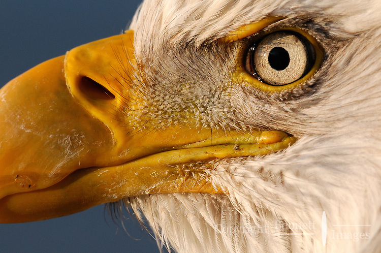 The rising sun illuminates the eye of a bald eagle at the Homer Spit in Alaska.