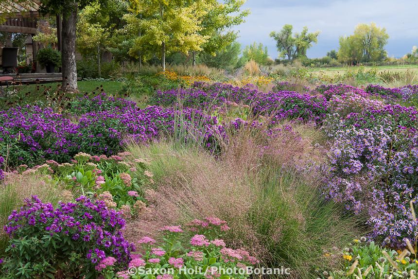 Muhlenbergia reverchonii  Ruby Muhly Grass flowering in Colorado backyard prairie garden with Asters 'Purple Dome' and Sedum 'Neon'; Scripter garden, design Lauren Springer Ogden