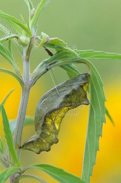 Pipevine Swallowtail, Battus philenor , pupa, Welder Wildlife Refuge, Sinton, Texas, USA
