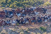 France, Bouches-du-Rhône (13),env de  Marseille, Le Rove:  Le troupeaux de Chêvres du Rove ,  d'André Gouiran, éleveur de chèvre du Rove et producteur de brousse du Rove  //  France, Bouches du Rhone, near Marseille:    Herd of goats Rove André Gouiran, Rove goat breeder and producer of  of  the Real Rove Brousse, pure goat cheese  <br /> AUTO N 2013-150