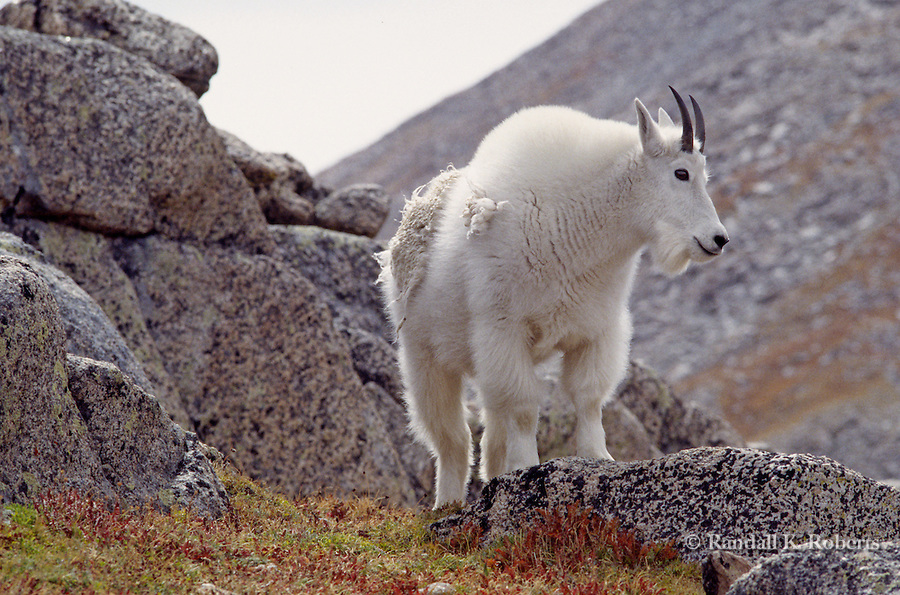 Mountain goat (Oreamnos americanus)  on rocky slopes near the summit of Mt. Evans, Colorado