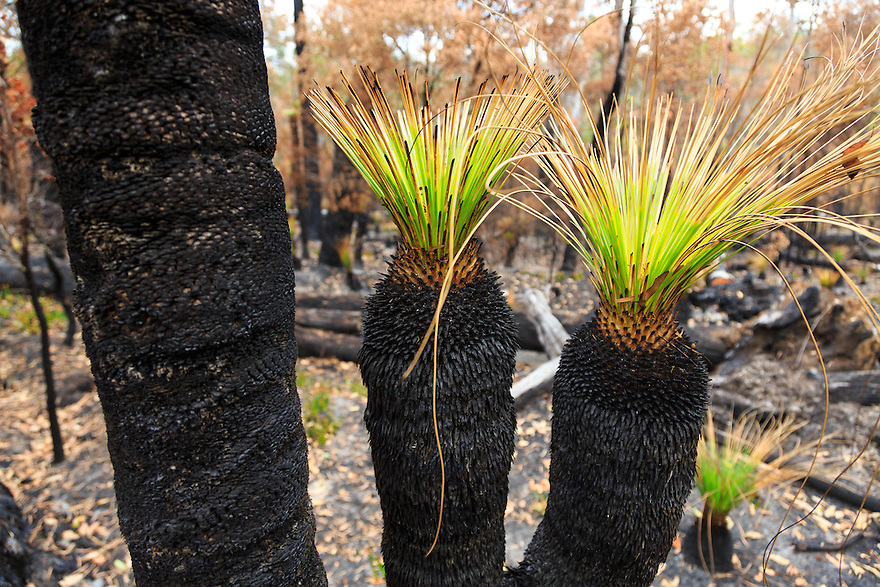 New growth after a fire. Pemberton. Western Australia.