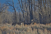 Trophy, nontypical, Mule Deer Buck and doe during the rut in Jackson Hole Wyoming
