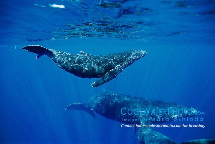 humpback whale, Megaptera novaeangliae, calf and escort, Hawaii, USA, Pacific Ocean