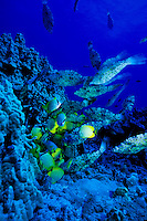 Scrawled Filefish and Milletseed Butterflyfish feed off the coral reefs of Hawaii.