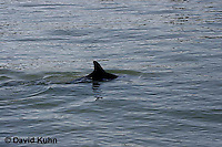 0129-08nn  Breaching Common Bottlenose Dolphin - Tursiops truncatus © David Kuhn/Dwight Kuhn Photography
