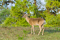 625350288 a wild young whitetail deer buck odocoileus virginianus pauses by large trees in the hill country of central texas