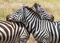 Zebra Hug, Zebras Resting their Necks and Watching for Predators