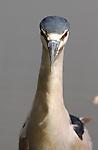 Black-crowned Night Heron Head-on Portrait LA Arboretum Southern California
