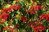 Amazon, Brazil. Christmas Star (Poinsettia) plant growing in the wild; bright red flowers on leafy bush.