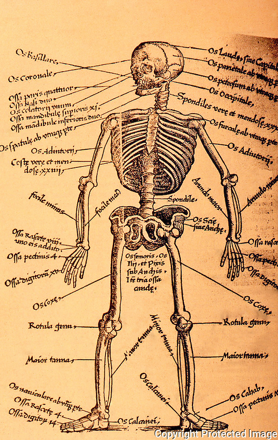 "Science:  Pre-Vesalian Skeleton, Plate 2.  ""Clearly indicating traditional, nonhuman, and even imaginary osteology"".  C.D. O'Malley, Andreas Vesalius of Brussells.  Photo '84."