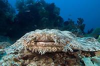 Tasselled wobbegong, Eucrossorhinus dasypogon, Indonesia,