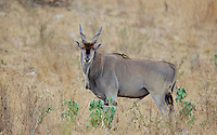 Eland bull with an ox-pecker on his back, Northern Serengeti