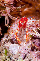 Olivar's Squat Lobster, Munida olivarae, night dive, Cuts and Grottos dive site, Tutuntute, near Uhak village, Wetar Island, near Alor, Indonesia, Banda Sea, Pacific Ocean