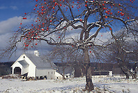 AJ4631, apple tree, winter scene, Vermont, Red apples on an apple tree after the first snow on Templeton Farm in East Montpelier in Washington County in the state of Vermont.