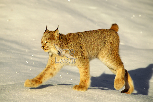 Lynx or Canadian Lynx (Felis lynx)