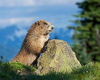 Olympic Marmot (Marmota olympus) in subalpine meadow, Olympic National Park, WA.  Summer.