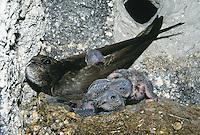 Mauersegler, Altvogel mit Küken im Innern eines Nistkasten, Mauer-Segler, Segler, Apus apus, swift