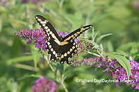 03017-01503 Giant Swallowtail (Papilio cresphontes) on Butterfly Bush (Buddleja davidii) Marion Co. IL