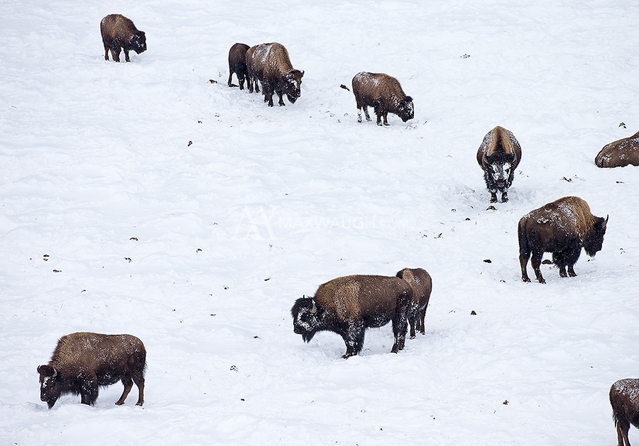 Bison endure a harsh Yellowstone winter.