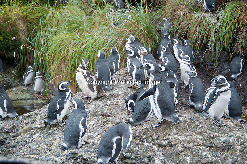 Magellanic Penguins on Tucker Islet in Tierra del Fuego in Patagonia Chile