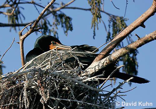 0111-0976  Double-crested Cormorant Sitting on Nest, Phalacrocorax auritus  © David Kuhn/Dwight Kuhn Photography