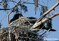 0111-0976  Double-crested Cormorant Sitting on Nest, Phalacrocorax auritus  © David Kuhn/Dwight Kuhn Photography
