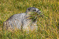 Hoary Marmot (Marmota caligata) gathering grass to line its winter hibernating den (sleeping area).  Western N.A., Sept.