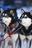B Hall's Dogs Steven & Shy Guy McGrath 99 Iditarod AK