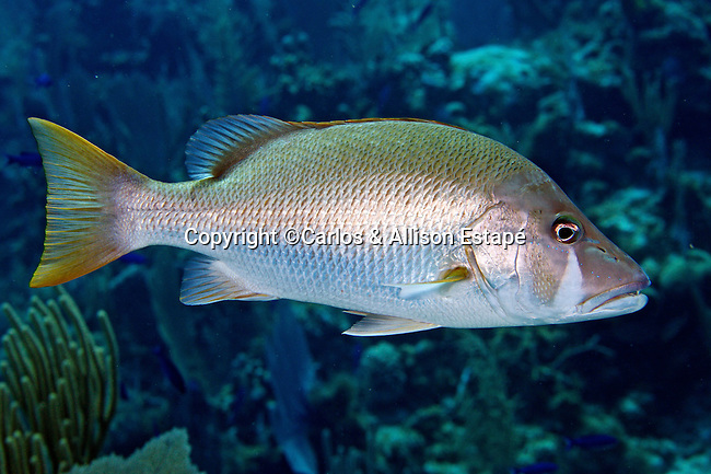 Lutjanus jocu, Dog snapper, Grand Cayman