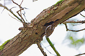 Treecreeper (Certhia familiaris) clinging to underside of a tree branch. Brock Valley Nature Reserve, England. Normally feeds going up a tree but will readily go to the underside of branches. At home upside down. Most frequent in Deciduous Wood, and found in Coniferous Wood.