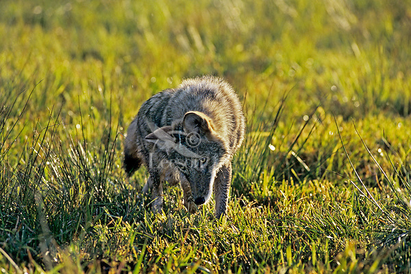 Coyote (Canis latrans) hunting--listening and sniffing for vole.