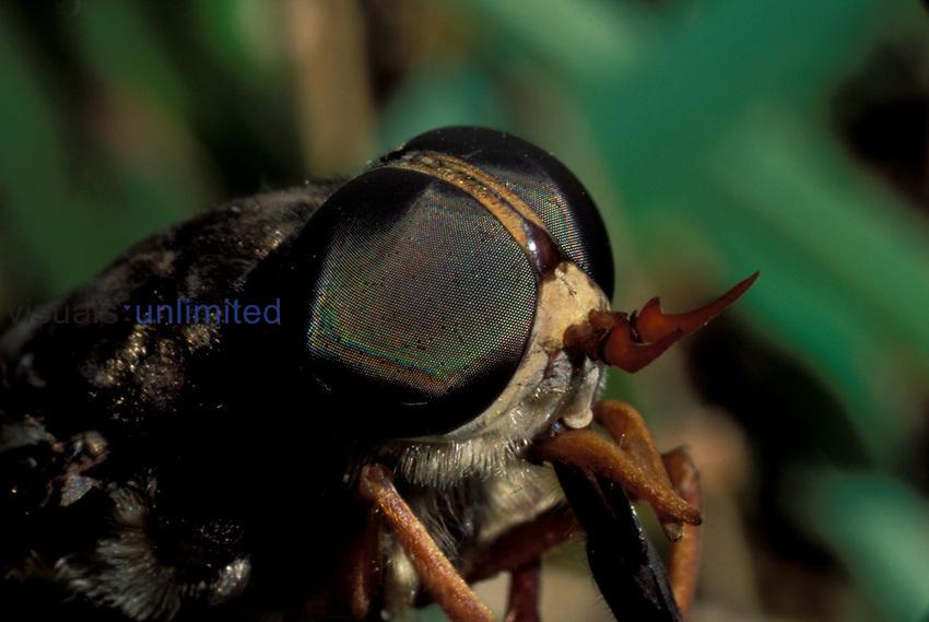 Bot fly ,Tabanus americanus,