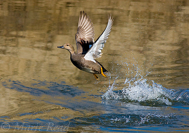 Gadwall (Anas strepera), male taking flight from water, Bolsa Chica Ecological Reserve, California, USA