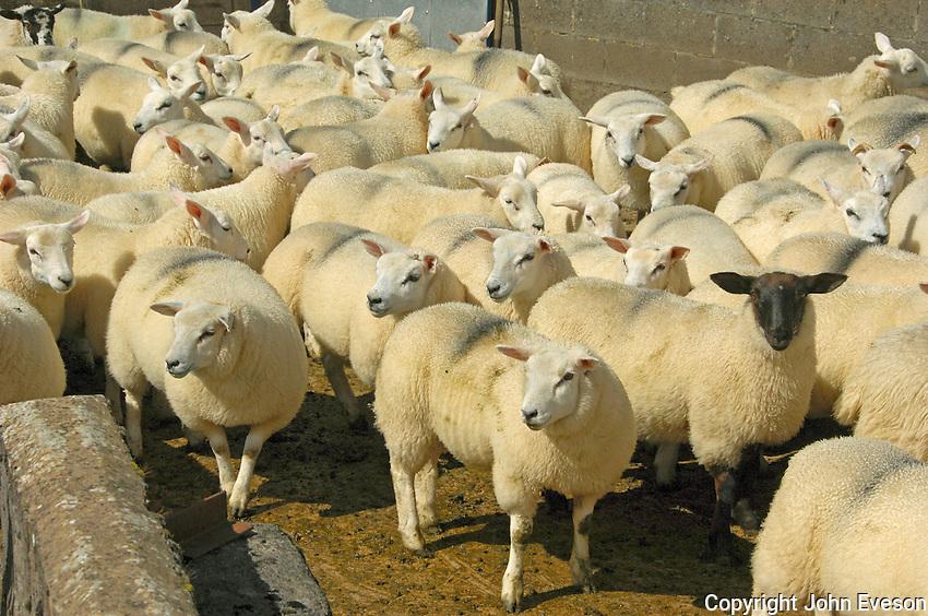 Texel cross lambs and Suffolk cross lambs, in a pen, Cumbria.