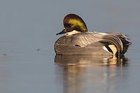 Falcated Teal - Anas falcata - Adult male